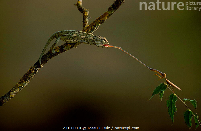 European chameleon predating mantis. Sequence 2/3. {Chamaeleo chamaeleon} Spain, CHAMELEONS,MANTIS,EUROPE,FEEDING,INSECTS,PREDATION,TONGUES,REPTILES,INSECT,REPTILES,BEHAVIOUR,INVERTEBRATES,LIZARDS, CHAMELEONS, Jose B. Ruiz
