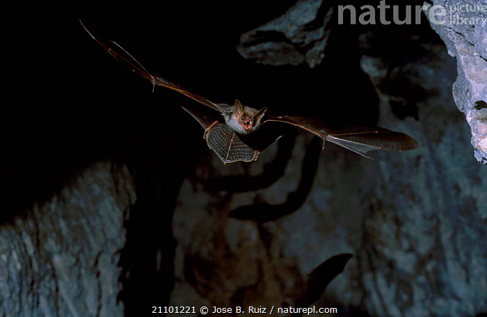 Greater mouse eared bat flying {Myotis myotis} Spain, CETACEANS,EUROPE,FLIGHT,BATS,CAVES,CETACEANS,MAMMALS,CAVE, Jose B. Ruiz