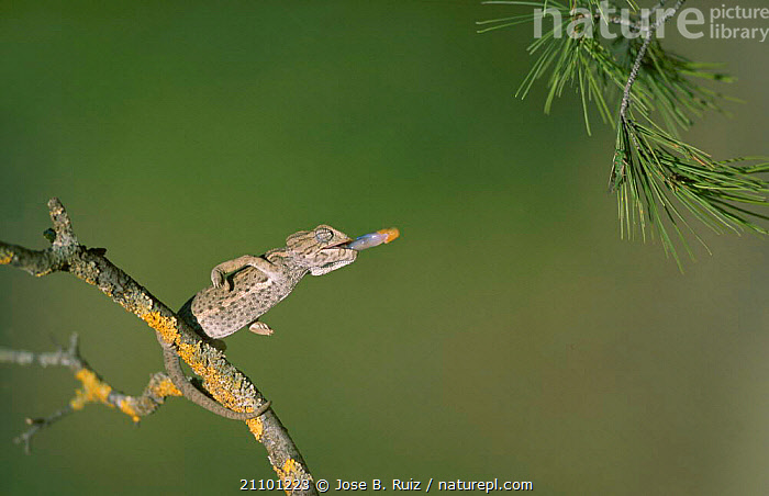 European chameleon predating grasshopper. {Chamaeleo chamaeleon} Spain, CHAMELEONS,INSECTS,PREDATION,GRASSHOPPER,FEEDING,REPTILES,TONGUES,EUROPE,BEHAVIOUR,INVERTEBRATES,LIZARDS, CHAMELEONS, Jose B. Ruiz