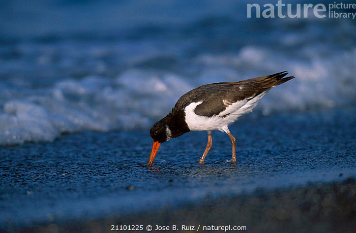Oystercatcher feeding {Haematopus ostralegus} Spain, COASTS,WADER,COAST,EUROPE,WADERS,BIRDS,BIRDS, Jose B. Ruiz