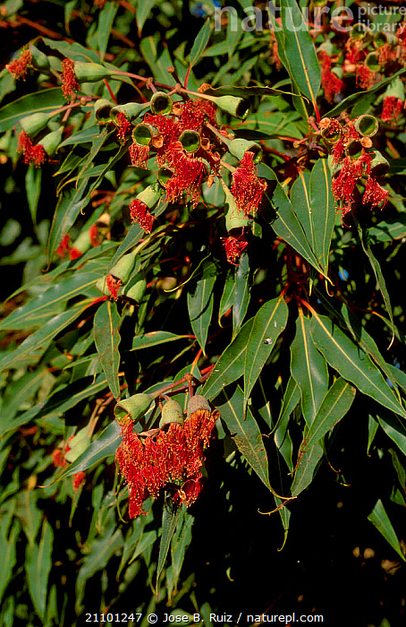 {Eucalyptus sp} flowers on tree Spain, RED,TREES,EUROPE,FLOWERS,PLANTS, Jose B. Ruiz