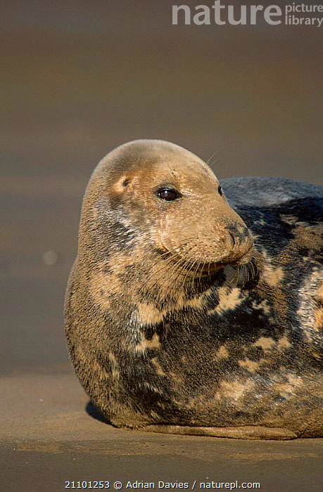 Grey seal portrait {Halichoerus grypus} Lincolnshire UK, PINNIPEDS,SEALS,COASTS,COAST,PINNIPEDS,MAMMALS, Adrian Davies