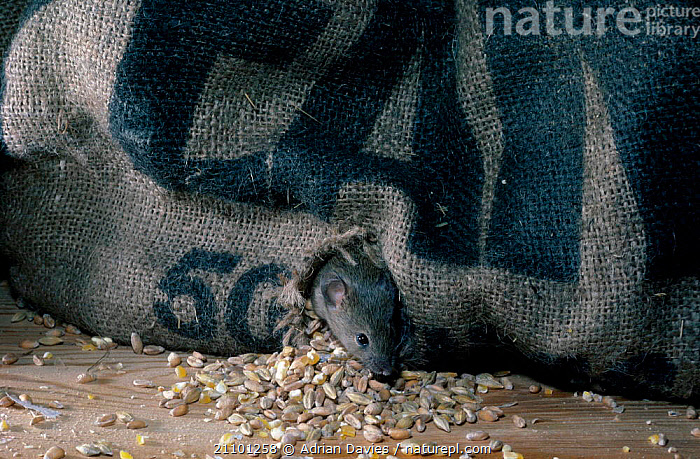 House mouse feeding on grain {Mus musculus} C UK, EUROPE,ENGLAND,PESTS,CROPS,MICE,SACK,CROP,PESTS,CAPTIVE,CORN,MURIDAE, Adrian Davies
