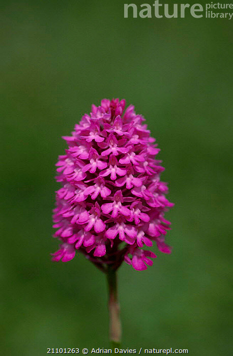 Pyramidal orchid {Anacamptis pyramidalis} UK, EUROPE,FLOWERS,ORCHIDS,FLOWERS,PLANTS,ENGLAND,PINK,PLANT, Adrian Davies