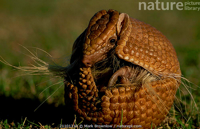 Brazilian three banded armadillo curled in protective ball {Tolypeutes tricinctus}, NATURE,AMERICA,ARMADILLOS,DEFENSE,SOUTH,SOUTH AMERICA,MAMMALS,BEHAVIOUR,DEFENSIVE,PROTECTION,WEIRD NATURE,WEIRD,EDENTATES, Mark Brownlow