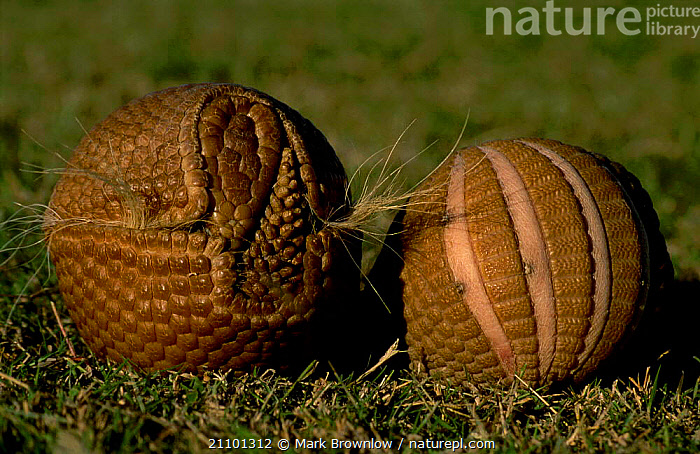 Brazilian three banded armadillo curled in protective ball {Tolypeutes tricinctus}, MAMMALS,NATURE,TWO,ARMADILLOS,SOUTH,WEIRD NATURE,WEIRD,AMERICA,DEFENSE,PROTECTION,SOUTH AMERICA,BEHAVIOUR,DEFENSIVE,EDENTATES, Mark Brownlow
