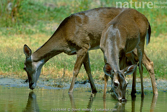 Two White tailed deer drinking {Odocoileus virginianus} Texas USA, ARTIODACTYLA,MAMMALS,NORTH AMERICA, David Welling