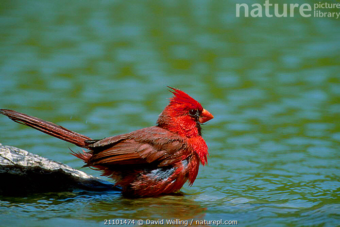 Northern cardinal male bathing {Cardinalis cardinalis} Texas USA, MALES,BEHAVIOUR,CARDINALS,RED,NORTH AMERICA,BIRDS, David Welling