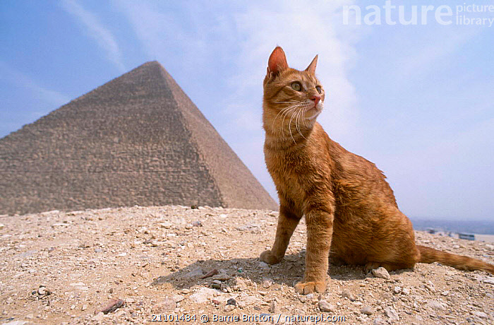 Feral Ginger cat in front of Pyramid {Felis catus} Giza Egypt, ARTIFACTS,LANDSCAPES,AFRICA,CATS,LANDSCAPES,CONNECTION,NORTH,THECAT CONNECTION,EGYPT,MAMMALS,NORTH AFRICA,BUILDING,ARTIFACTS,PETS,PETS,BUILDNGS, Barrie Britton