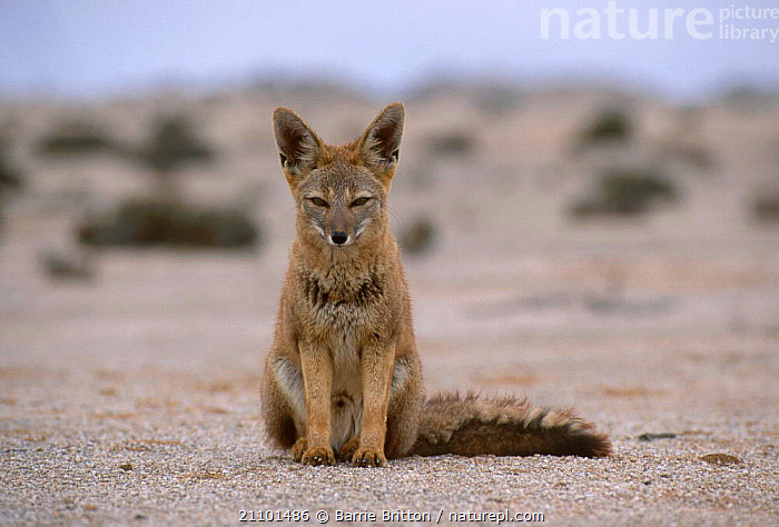 Argentine grey fox {Pseudolopex griseus} in Atacama desert Pan de Azucar Park Chile, ANDES TO AMAZON,DESERTS,AMERICA,AMAZON,FOXES,ANDES,CARNIVORE,CARNIVORES,SOUTH,MAMMALS,SOUTH AMERICA,DOGS,CANIDS, Barrie Britton