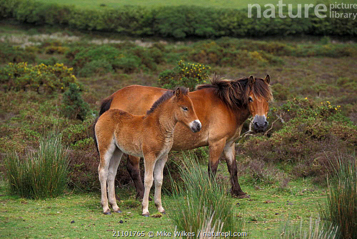 Exmoor pony with foal {Equus caballus} Exmoor NP Devon UK, FAMILIES,BRITISH,BABIES,HORSES,ENGLAND,HORSES,RESERVE,MOTHER,BABY,PERISSODACTYLA,EUROPE,MAMMALS,DOMESTIC, Mike Wilkes