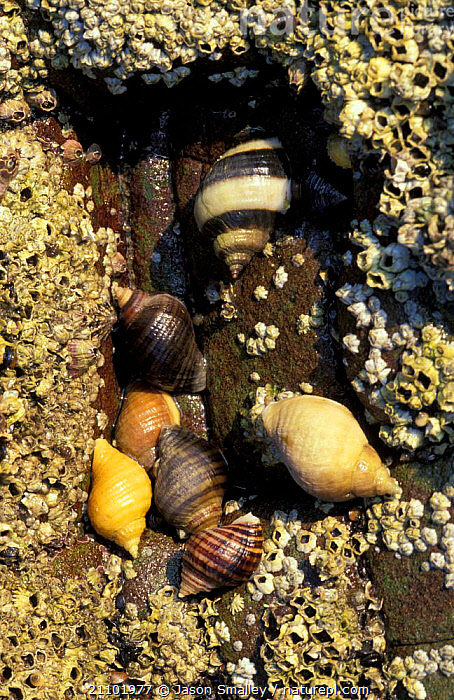 Common periwinkles {Littorina littorea} + Barnacles on rock Pembrokeshire, Wales, EUROPE,INVERTEBRATES,SPECIES,MIXED,SHELLS,GROUP,TEMPERATE,MARINE,MIXED SPECIES,UK,COAST,COASTS,GROUPS,LITTORAL,MOLLUSCS,United Kingdom,Intertidal,British, Molluscs, United Kingdom, United Kingdom, United Kingdom, Jason Smalley