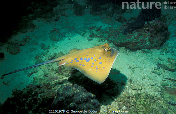 Blue spotted stingray {Dasyatis kuhli} Andaman sea, FISH,RAY,THAILAND,PACIFIC,SWIMMING,INDO PACIFIC,MARINE,TROPICAL,UNDERWATER,INDIAN OCEAN,KUHLI,STINGRAYS,RAYS, Georgette Douwma