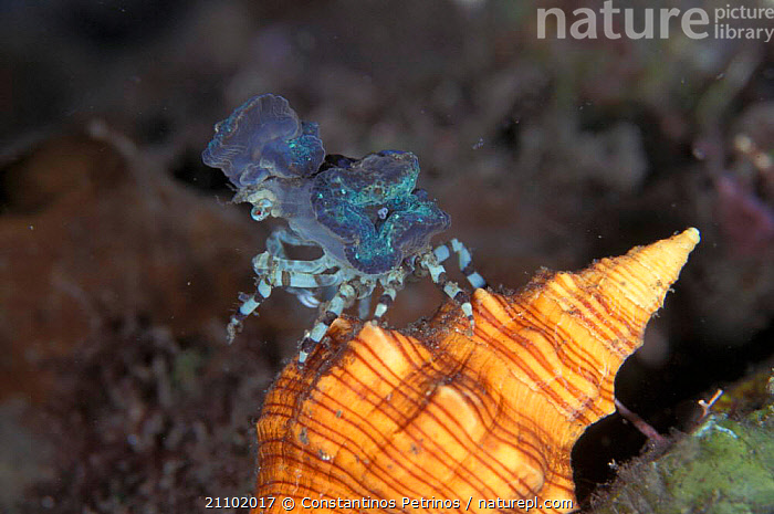 Decorator crab {Micippa philyra} Sulawesi, Indonesia, SPECIES,MARINE,MIXED,MIXED SPECIES,SHELL,BLUE,INDO PACIFIC,UNDERWATER,TROPICAL,CAMOUFLAGE,VERTICAL,CRUSTACEANS,Invertebrates, Constantinos Petrinos