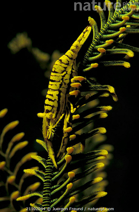Crinoid shrimp {Periclimenes sp} on featherstar.commensal. Sulawesi, Indonesia, FEATHERSTAR,SHRIMPS,COMMENSAL,CRUSTACEANS,MIXED,UNDERWATER,COLOUR,INVERTEBRATES,SPECIES,TROPICAL,MIXED SPECIES,COMMENSALISM,MARINE,CAMOUFLAGE,INDO PACIFIC,SOUTH-EAST-ASIA,Asia, Jurgen Freund