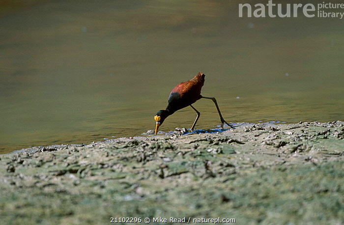 Northern jacana feeding on shore {Jacana spinosa} Black river morass Jamaica, BEHAVIOUR,BIRDS,WADERS,LITTORAL,CARIBBEAN,JACANAS,INTERTIDAL,West Indies, Mike Read