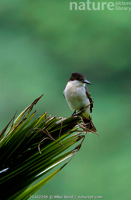 Loggerhead kingbird {Tyrannus caudifasciatus} Jamaica (Jamaican race), CARIBBEAN,JAMAICAN,KINGBIRDS,RACE,BIRDS,FLYCATCHERS,West Indies, Mike Read