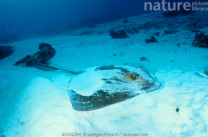 Feathertail stingray covered in sand {Pastinachus sephen} Great Barrier Reef Australia, PACIFIC,TROPICAL,PACIFIC OCEAN,SEABED,HIDING,FISH,STINGRAYS,CAMOUFLAGE,MARINE, Jurgen Freund