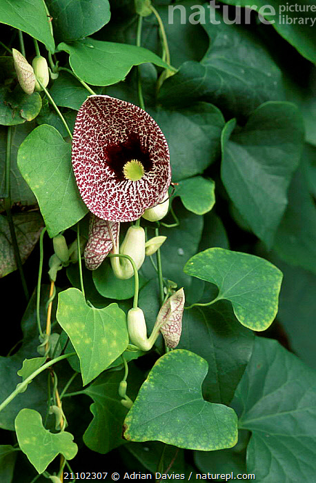 Rooster flower {Aristolochia labiata}, FLOWERS,CLIMBERS,HORTICULTURE,CULTIVATED,PLANTS, Adrian Davies