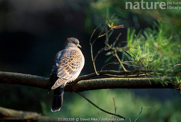 Eastern turtle dove {Streptopelia orientalis} Meiji Shrine Japan, DOVES,ASIA,BIRDS, David Pike