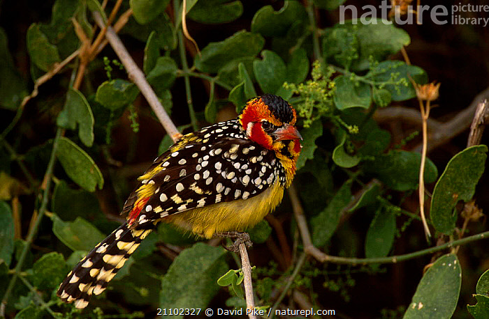 Red and yellow barbet {Trachyphonus erythrocephalus} Masai Mara Kenya, BARBETS,RESERVE,EAST,EAST AFRICA,BIRDS,COLOURFUL,AFRICA, David Pike
