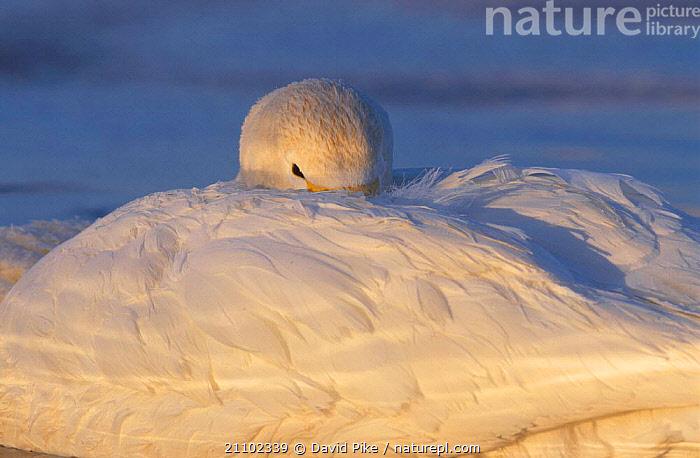 Whooper swan resting with head under wing {Cygnus cygnus} Kusshara ko Japan, SLEEPING,ASIA,BIRDS,WATERFOWL,PEACEFUL,SWANS,ARTY SHOTS,ABSTRACTS,WHITE,CONCEPTS,WILDFOWL, Waterfowl, David Pike