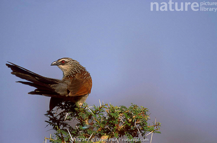 White browed coucal {Centropus superciliosus} Lake Manyara Tanzania, COUCALS,AFRICA,EAST AFRICA,TREES,BIRDS,THORNS,RESERVE,PLANTS, David Pike