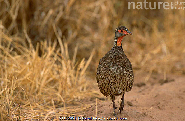 Red-necked spurfowl {Francolinus afer} Masai Mara Kenya, BIRDS,PARTRIDGE,EAST AFRICA,AFRICA,RESERVE, David Pike