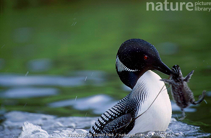 Great northern diver {Gavia immer} attacking Red-necked grebe chick. Alaska USA, INTERESTING,SOLDOLTNA,DIVERS,GRISEGNA,BIRDS,CHICKS,HORRIFIC,BABIES,CHICK,WATERFOWL,MIXED SPECIES,PODICEPS,BEHAVIOUR,NORTH AMERICA,FIGHTING,AGGRESSION,CONCEPTS, David Pike