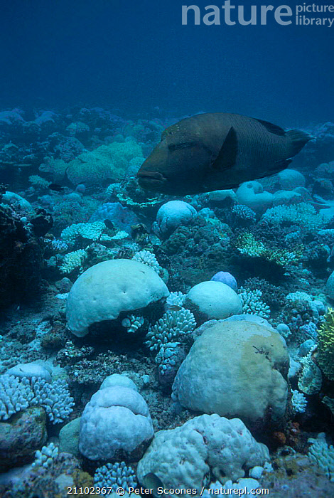 Humphead (Napoleon) wrasse {Cheilinus undulatus} swims over bleached coral. Maldives, LARGE,BIG,CORAL,CORAL REEFS,NAPOLEON,UNDERWATER,REEF,TROPICAL,INDIAN OCEAN ISLANDS,SIZE,FISH,MARINE, PETER SCOONES
