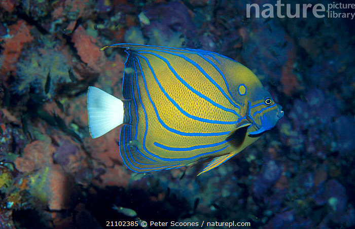 Blue ringed angelfish {Pomacanthus annularis} Andaman sea Thailand, FISH,STRIPED,PROFILE,STRIPES,INDIAN OCEAN,TROPICAL,UNDERWATER,MARINE, PETER SCOONES