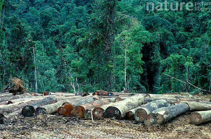 Logging in rainforest - numbered  cut logs ready for transport. Sabah, Borneo, DEFORESTATION,ASIA,LANDSCAPES,TRANSPORT,SOUTH EAST ASIA,TIMBER,TRADE,LOGS,TROPICAL RAINFOREST,TREES,DESTRUCTION,Plants,SOUTH-EAST-ASIA, PETER SCOONES