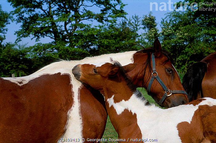 Skewbald mare and foal mutual nuzzling {Equus caballus} UK, FRIENDSHIP,BABIES,MAMMALS,MOTHER,PERISSODACTYLA,BABY,CUTE,PETS,AFFECTION,BEHAVIOUR,GROOMING,HORSES,FAMILIES,CONCEPTS,EQUINES, Georgette Douwma