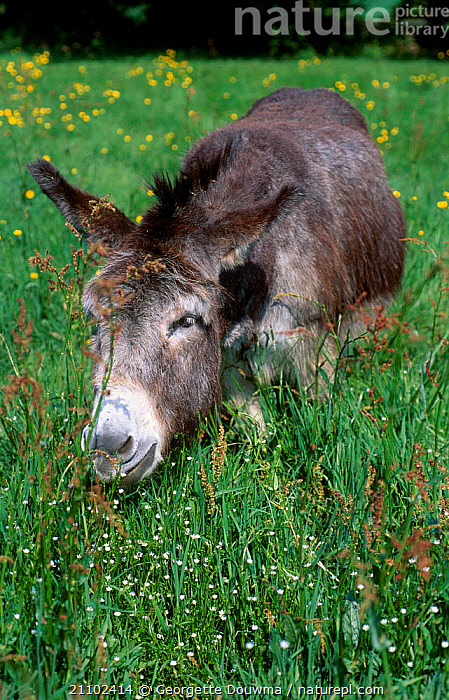 Donkey {Equus asinus} grazing in meadow with Buttercups and Sorrel. UK, CUTE,EARS,EUROPE,FEEDING,GRASS,GRASSES,GRAZING,MAMMALS,PLANTS, Georgette Douwma