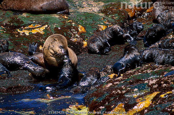 South african / cape fur seal pup searchs for mother S Africa {Arctocephalus p pusillus}, BEHAVIOUR,LOST,PINNIPEDS,COASTS,BABIES,SOUTHERN AFRICA,FAMILIES,MAMMALS, Georgette Douwma