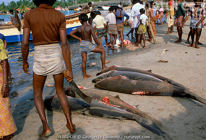 Shark catch on beach with fins removed Sri Lanka, ASIA,DEATH,FISH,BEACHES,TRADE,PEOPLE,SRI LANKA, Georgette Douwma