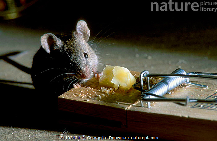 House mouse eating cheese from a mouse trap {Mus musculus} UK, RODENTS,ENGLAND,EUROPE,PESTS,MICE,WILDLIFE,MAMMALS,BUILDINGS,CONTROL,MURIDAE, Georgette Douwma