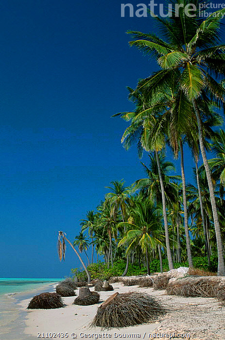 Coastal erosion. Shifting sands 1m/yr beach loss. Coconut palm trees collapse. Lakshadweep, BANGARAM,BEACHES,LOSS,SAND,INDIA,LANDSCAPES,DAMAGE,COASTS,EROSION,COLLAPSE,INDIAN-SUBCONTINENT,Asia, Georgette Douwma