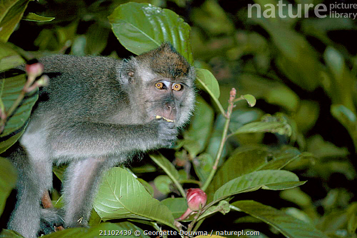 Crab eating / long tailed macaque {Macaca fascicularis} feeding. Sabah Malaysia, PRIMATES,SOUTH EAST ASIA,KINABANTANG,FEEDING,FRUIT,EXELSA,FLOWERS,DILEMIA,MACAQUES,MAMMALS,INDONESIA,TROPICAL RAINFOREST,ASIA,PLANTS,MONKEYS, Georgette Douwma