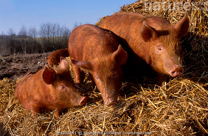 Dometic pigs {Sus scrofa domestica} Juvenile Tamworth x Bluespot. UK, PIGLETS,ARTIODACTYLA,MAMMALS,GROUPS,THREE,BLUESPOT,EUROPE,LIVESTOCK, Georgette Douwma