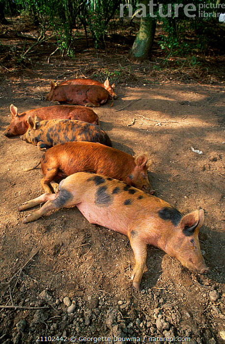 Dometic pigs resting {Sus scrofa domestica} Juvenile Tamworth x Bluespot. UK, ARTIODACTYLA,EUROPE,GROUPS,PIGLETS,LIVESTOCK,MAMMALS,FAMILIES,FIVE,SLEEPING,BLUESPOT, Georgette Douwma