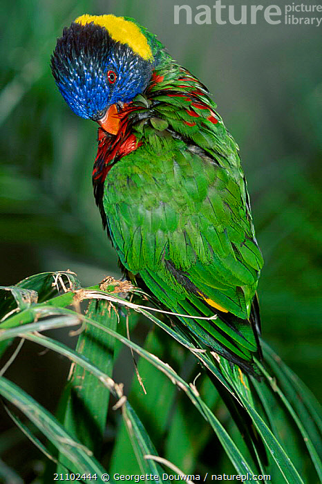 Rainbow lorikeet grooming {Trichoglossus h haematodus} captive from Indonesia, COLOURFUL,BIRDS,PREENING,LORIKEETS, Georgette Douwma