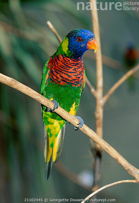 Rainbow lorikeet {Trichoglossus h haematodus} captive from Indonesia, BIRDS,COLOURFUL,PORTRAITS,LORIKEETS, Georgette Douwma