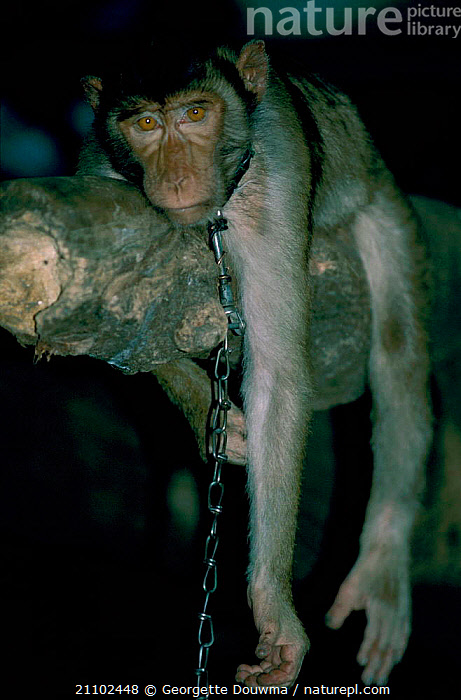 Pigtail macaque {Macaca nemestrina} imported from Borneo kept as pet in Sulawesi, PRIMATES,INDONESIA,ASIA,CRUELTY,MAMMALS,MONKEYS,CHAIN,PETS,SOUTH EAST ASIA,ENDANGERED,MACAQUES,SAD,CONCEPTS, Georgette Douwma