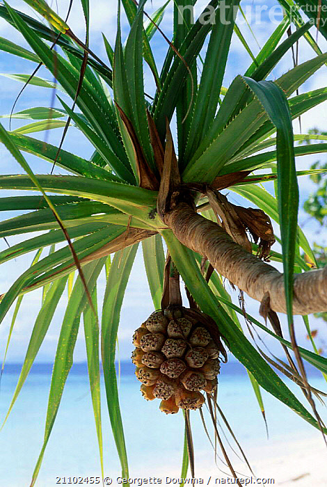 Palm fruit on tree {Pandanus sp} Sabah Malaysia Indonesia, COASTS,CONES,PLANTS,SEA,FRUITS, Georgette Douwma