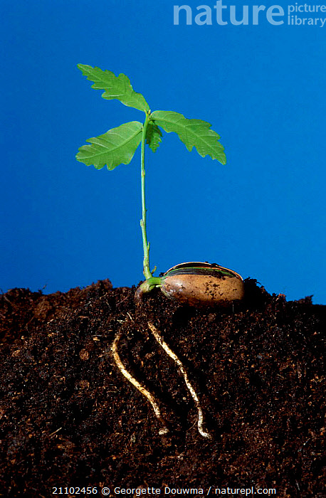 English oak tree acorn seedling sprouting from acorn {Quercus robur} UK Sequence 2/2, LEAVES,GERMINATION,ENGLAND,CROSS SECTION,ROOTS,SEEDS,SOIL,PLANTS,EUROPE,GROWTH,SHOOTS,TREES,CONCEPTS, Georgette Douwma
