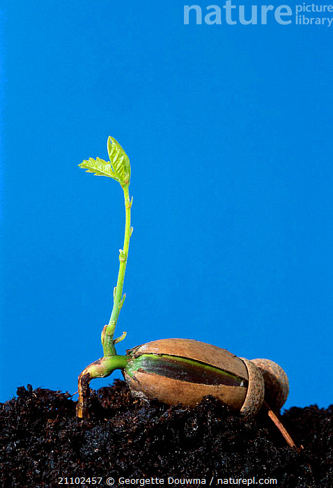English oak tree acorn seedling sprouting from acorn {Quercus robur} UK Sequence 1/2, ROOTS,SOIL,SHOOTS,SEEDS,TREES,CROSS SECTION,GERMINATION,LEAVES,EUROPE,PLANTS,ENGLAND,GROWTH,CONCEPTS, Georgette Douwma