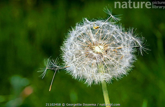 Dandelion seedhead with seeds being blown by wind. {Taraxacum officinale} UK, BRITISH,DANDELIONS,DISPERSAL,EUROPE,ENGLAND,WIND,PLANTS,WEATHER, Georgette Douwma