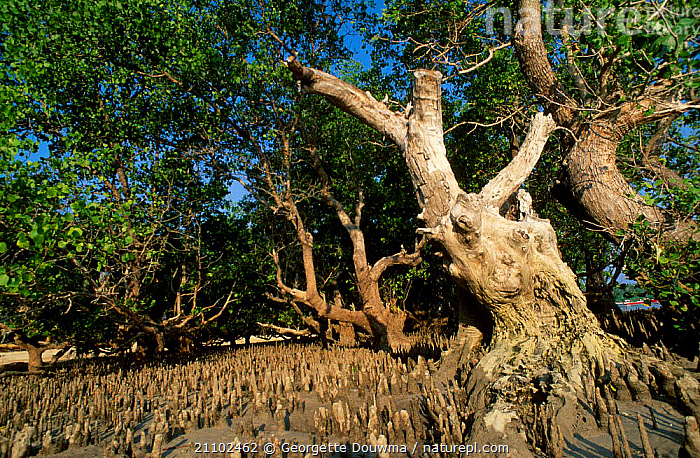 Mangrove roots exposed at low tide Sulawesi Indonesia, COASTS,LANDSCAPES,TREES,SOUTH EAST ASIA,WETLANDS,LITTORAL,MANGROVES,ASIA,PLANTS,INTERTIDAL,SOUTH-EAST-ASIA,INDONESIA, Georgette Douwma