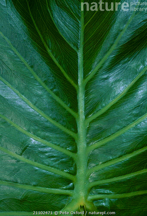 Close up of Water philodron leaf {Araceae} Amazonia Ecuador, CLOSE UPS,TROPICAL RAINFOREST,LEAVES,SOUTH AMERICA,VEIN,VEINS, Pete Oxford